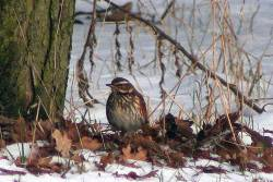 Redwing, not spotted very often
