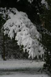 Snow on conifers on the 8th