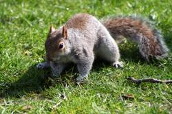 Tame grey Squirrel